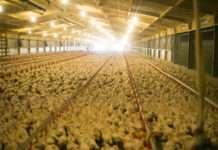 Un élevage industriel de poulet au Royaume-Uni. Photographie : Roee Shpernik sous licence créatives commons.